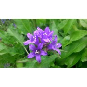 Campanula glomerata Acaulis blau