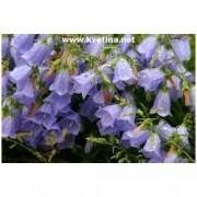 Campanula cochleariifolia /pusilla/ - Zvonek