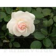 Crema restructuranta hidratanta de zi 50 ml BB31 Golden Rose