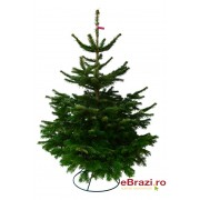 Brad natural de Craciun nordmann TOP QUALITY 100-125 cm