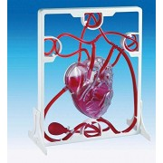 Pumping Heart Model - Educational Biology Resource by Unknown