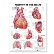 Anatomy of the Heart Anatomical Chart by Anatomical Chart Company