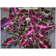 Coleus hybrid - Okrasná kopřiva