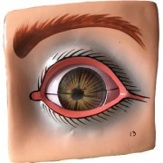 Scientific Educational Model of Herindera Eye with Orbit in 8 Parts