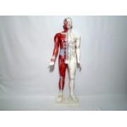 Mulaj studiu acupunctura barbat 84 cm (cod S11)