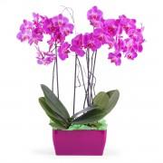Interflora Arreglo de orquideas Phalaenopsis - Merlot