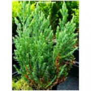 "Juniperus horizontalis ""Hughes"" - Jalovec polehlý"