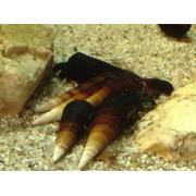 Faunus sp. Bicolor