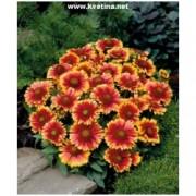 Gaillardia grandiflora 'Arizona Sun' - Kokarda