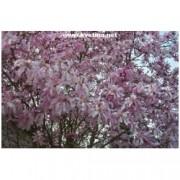 Magnolia stellata - Šácholan hvězdokvětý