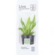 TROPICA Helanthium Quadricostatus (Pot)