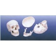 Craniu din 3 parti-marime naturala