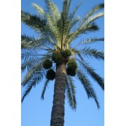 10 CANARY ISLAND DATE PALM Phoenix Reclinata Canariensis Tree Seeds *Comb S/H by Seedville