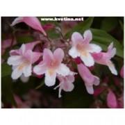 Kolkwitzia amabilis - Kolkwitzie krásná