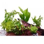 Aquariaplanten Assortiment voor 60 cm Aquaria - 7 Topplanten