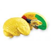 Learning Resources - Le Cerveau Humain - Langue: Anglais Import Grande Bretagne