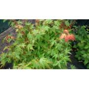 """Acer palmatum """"Sangokaku"""""""