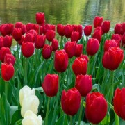 Mayflowering Tulip -Kingblood 11cm- Wholesale Bulk Bag (100 bulbs/bag)