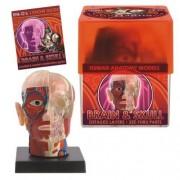 BioSigns Brain and Skull - Human Anatomy Model
