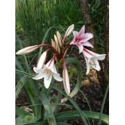 Orange River Lily