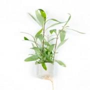TROPICA Hygrophila Siamensis 53B (Mini Pot)