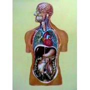 Organele interne