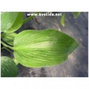 Hosta hybrida 'Abiqua drinking gourd' - Funkie, bohyška