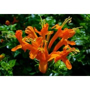 Cape Honeysuckle - Orange