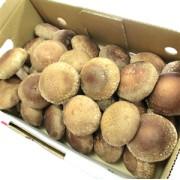 菌床しいたけ (1kg/サイズ小・約30~36個) JAしおのや産
