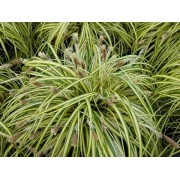 "Carex ""Evergold"""
