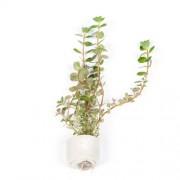TROPICA Rotala rotundifolia (Mini Pot)