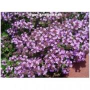 Thymus doerfleri - Mateřídouška