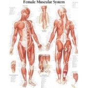 Female Muscular System: WITH Female Figure Paper Poster by Scientific Publishing