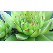 Sempervivum tectorum var. andreanum