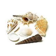 Decorative Natural Shells