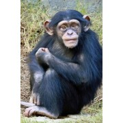 Baby Chimpanzee Journal: 150 Page Lined Notebook/Diary