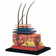 Learn about Human Anatomy - Skin Model with 19 detachable parts & stand (Age 8+)