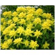 Euphorbia polychroma - Pryšec