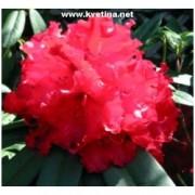 Rhododendron hybrid 'Bengal' - Rododendron, pěnišník