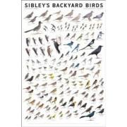 Sibley's Backyard Birds by David Allen Sibley