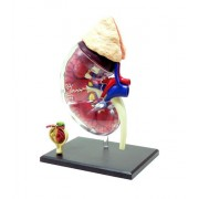 No.17 kidney and renal corpuscle anatomy model Skynet three-dimensional puzzle 4D VISION Human Anatomy (japan import)