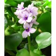 Vodný hyacint - Eichornia crassipes