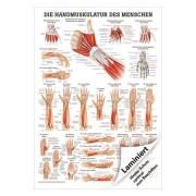 "Poster ""Handmuskulatur"", LxB 70x50 cm"