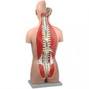 modello torso muscolare schiena aperta + cd rom - 27 parti - 23x33xh.9