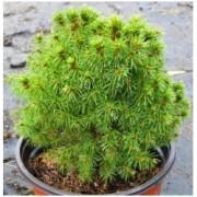 """Picea glauca """"Alberta Globe"""" - Smrk sivý zakrslý kulatý"""