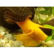 Tylomelania sp. Orange