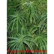 50 UMBRELLA PLANT CYPERUS Alternifolius Papyrus Grass Umbrella Palm Flower Seeds by Seedville