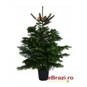 Brad cu radacina crescut in ghiveci nordmann TOP QUALITY 100-120 cm