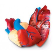 5 Pack LEARNING RESOURCES HUMAN HEART CROSSSECTION MODEL