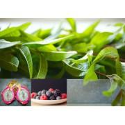 Ceai de plante Red Dragon Herbs